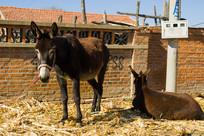 红砖墙毛驴