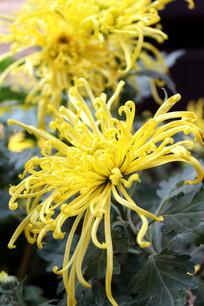 黄菊虚实花朵