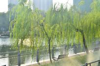 湖边的柳树风景