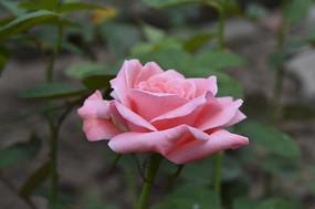 混色粉红色玫瑰花素材图
