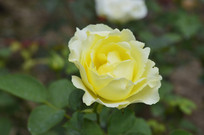 金黄色月季花朵花卉图片