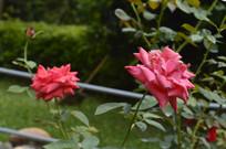 两朵红月季花朵花卉图片