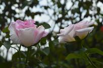 两朵摩纳哥公主月季花