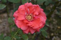 玫红色月季花花朵花卉图片