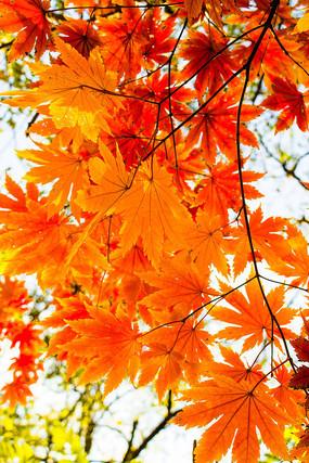 逆光中的红色枫叶