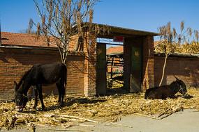 农家院门口的两头驴