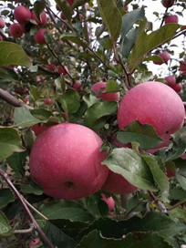 苹果成熟季