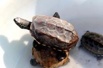 伸出头的乌龟
