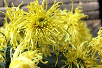 盛开的美丽黄菊