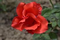 特写大红色玫瑰花