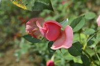 特写粉色玫瑰花