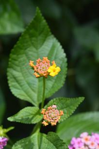 微型花朵马缨丹