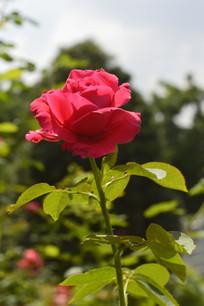 鲜红色玫瑰花花朵花卉图片