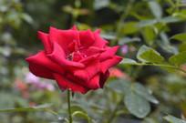 鲜红色月季花花朵花卉图片