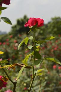 小朵玫瑰花花朵花卉图片