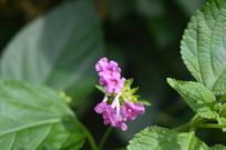 小小花朵马缨丹