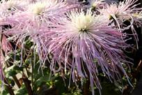 阳光下的美丽菊花