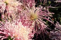 阳光下拍摄的菊花