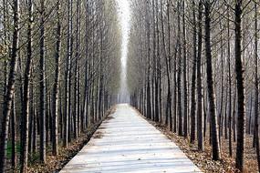 杨树林和小路