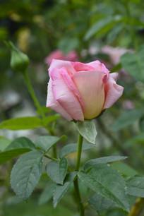 一朵摩纳哥公主月季花