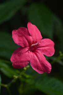一朵圆筒状红花芦莉