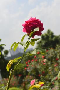 一枝红月季花朵花卉图片