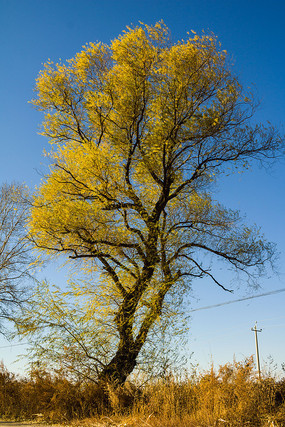 原野一棵金色柳树