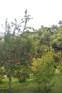 云溪生态公园扶桑灌木