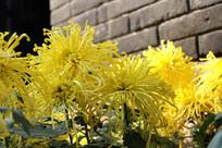 多朵菊花图片