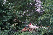 飞到树上的土鸡