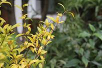 杭州小河直街黄色与绿色树叶