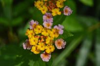 花朵颜色各异的马缨丹
