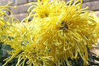 逆光拍摄的菊花