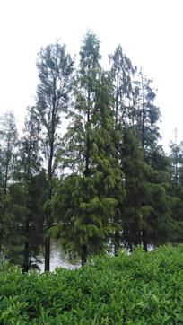 水杉树风景