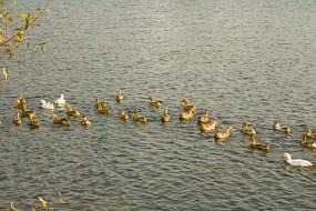 水塘一群麻鸭
