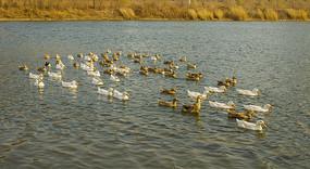 水塘一群游泳的鸭子