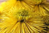 微距拍摄的菊花