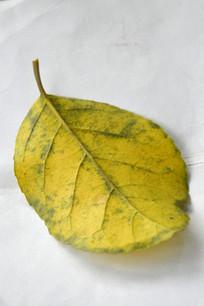 白色背景一片黄叶