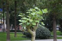 成都城市公园景观树