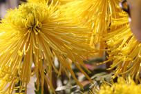 黄色菊花特写