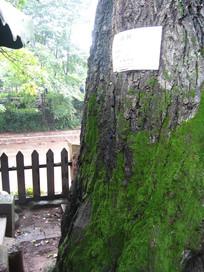 千年老树的肌理