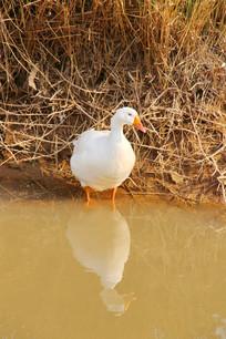 水边的白色鸭子