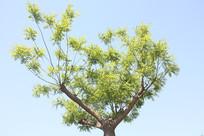 天空中的大树