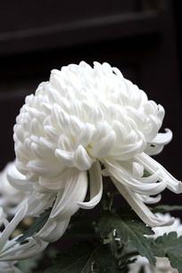 一朵盛开的白色菊花