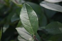 一枚绿色的叶子