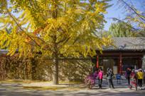 银杏树及游客