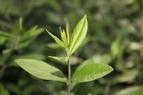 一株绿色植物特写