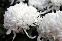 绽放的白菊花