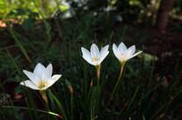 绽放的白色葱兰花