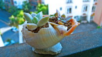 多浆植物与海螺小花盆特写摄影